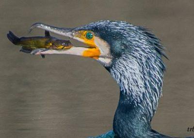 cormorano di G. Ciccone